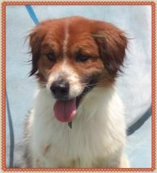 TAG is an adoptable Brittany Spaniel Dog in Marietta, GA. Tag is a darling 8 year old, 27 pound little boy. He is a very quiet and very sweet. He lost his way and has now found himself homeless in a v...