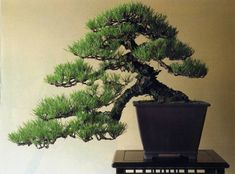 Semi Cascade Pine Bonsai Bonsai  : More Pins Like This At FOSTERGINGER @ Pinterest