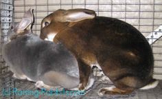 Rabbit Mating - tips, tricks and pics for ensuring successful matings and large litters of bunnies.