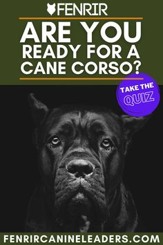Are you trying to decide if a Cane Corso is the best guard dog for you? Check out our quiz to find out. Best Guard Dog Breeds, Best Guard Dogs, Giant Dog Breeds, Giant Dogs, Large Dog Breeds, Large Dogs, Cane Corso Dog Breed, Mastiff Dog Breeds, Best Dogs For Families