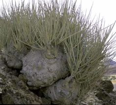 Rare Succulents Adenia pechuelii