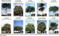 espécies de árvores - Pesquisa Google
