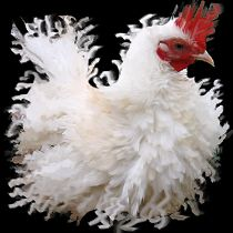 frizzle chickens