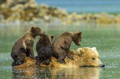 No Alasca, mamãe ursa leva filhotes nas costas durante travessia de rio http://glo.bo/1rGnC7r #G1 pic.twitter.com/Dc6G52SjnT