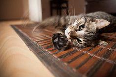 Cat  Photo Art Prints  Pet Photography  by WildnisPhotography, $15.50