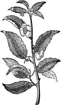 44 Best Botanical Prints Of Camellia Sinensis Images On Pinterest