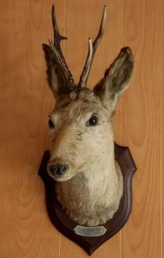 Antique french taxidermy mounted Deer Stag head with plaque dated 8/11/1898