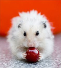 Cute Picture | Hamster | Eating a Cherry | Cutearoo | Puppies ...