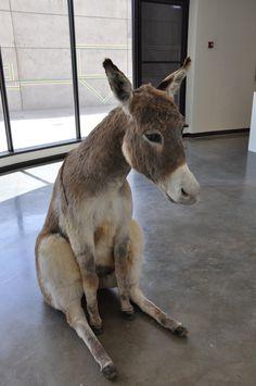 http://pix.alaporte.net/pub/d/38396-1/Sitting+Donkey+1.jpg