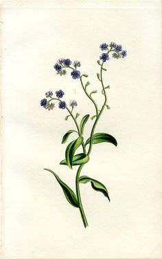 If I ever get a tattoo I think it will be of  a botanical illustration of forget-me-nots.