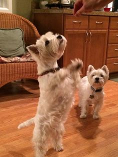 Please Please Please - West Highland White Terriers