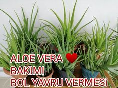 Aleo Vera, Baby Knitting Patterns, Houseplants, Flowers, Youtube, Istanbul, Cactus, Masks, Florals