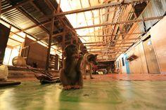 JACEK PAWLICKI PICTURES: Malaysia, Borneo, Ngemah Ili, June 2015