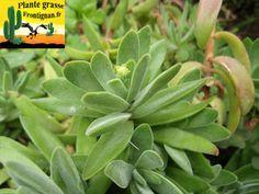 Crassula pubescens pubescens ssp