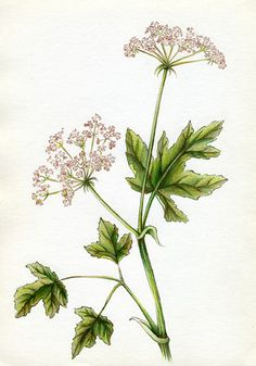 botanical illustration of a California Wildflower by Joni Stringfield