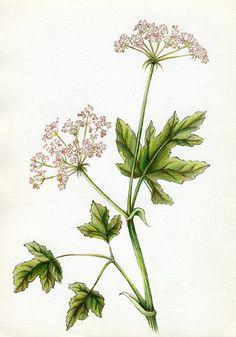 botanical illustration of a California Wildflower by Joni Stringfield