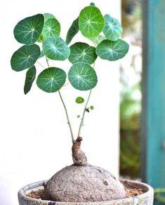 1 BULB Stephania Erecta Caudiciform Caudex Fatplant - All For Herbs And Plants Indoor Garden, Garden Pots, Indoor Plants, Cactus Plante, Pot Plante, Unusual Plants, Cool Plants, Weird Plants, Rare Plants
