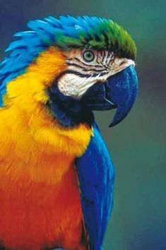 Ara-Araraunal-©-ZooParc-de-Beauval- Suzie B- Pretty Birds, Beautiful Birds, Animals Beautiful, Beautiful Creatures, Rare Birds, Exotic Birds, Tropical Birds, Colorful Birds, Tropical Animals