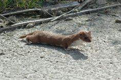 http://www.zoogdiervereniging.nl/node/282 wezels - Google zoeken  Mustela nivalis (wezel) http://www.beesies.nl/animals/wezel.htm