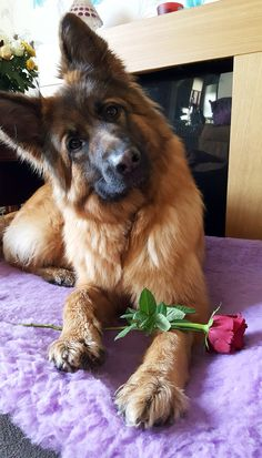 Excellent pretty dogs tips are readily available on our internet site. look at this and you wont be sorry you did. Gsd Puppies, Cute Dogs And Puppies, I Love Dogs, Gsd Dog, Doggies, German Sheperd Dogs, Shepherd Dog, German Shepherds, Blue German Shepherd