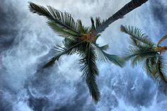 Palm Tree's - HDR