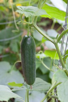 Growing Cucumbers - Bonnie Plants || Cucumbers on a trellis are clean and easy to pick. Use a trellis small enough for tendrils to grab.