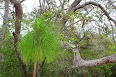 """Everyday is a good hair day for the young pines growing up in Brooker Creek Preserve in Tarpon Springs, Florida.  Available in 4x6"""" to 20x30""""."""
