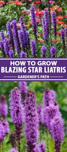 How to Plant and Grow Blazing Star (Liatris Spicata) | Gardener's Path Exotic Flowers, Cut Flowers, Amazing Flowers, Purple Flowers, Wild Flowers, Best Flowers For Bees, Ranunculus Flowers, Yellow Roses, Pink Roses