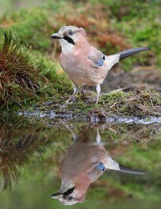 Vlaamse Gaai  (Van vroegevogels)
