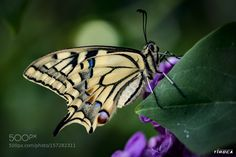 gorgeous butterfly by tiroca-foto #nature #photooftheday #amazing #picoftheday