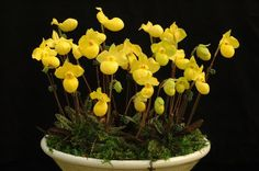 Image result for Paphiopedilum armeniacum