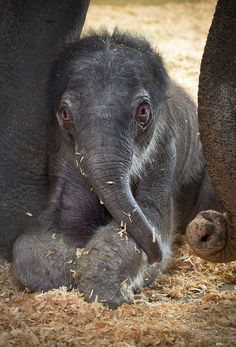 a one day old Asian elephant calf is shown in the elephant maternity ward with her mother Rose-Tu at the Oregon Zoo in Portland,