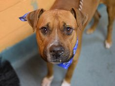 TO BE DESTROYED - 01/06/15  TO BE DESTROYED - 01/02/15 Brooklyn Center -P  ***NEW PHOTO*** My name is SAFARI. My Animal ID # is A1023855. I am a female brown and white am pit bull ter and amer bulldog mix. The shelter thinks I am about 2 YEARS old.  I came in the shelter as a STRAY on 12/22/2014 from NY 11207, owner surrender reason stated was STRAY. https://www.facebook.com/Urgentdeathrowdogs/photos/a.611290788883804.1073741851.152876678058553/934422346570645/?type=3&theater