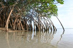 I'd love to see mangroves, pretty much anywhere- maybe Puerto Rico