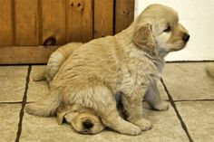 golden retriever puppies are the cutest