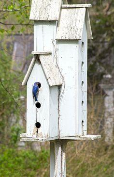 Bluebird at home.
