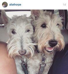 Scottish Terriers of Instagram via Scottie Mom.com.