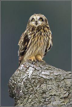 ..Short Eared Owl (20110214-1081) by Earl Reinink..