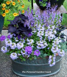 Pretty black Coleus, lavender Scaveola, purple Verbena, and purple Angelonia(in back)