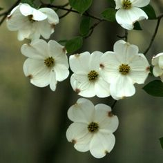 Dogwoods everywhere you look at home in the spring time one of my favorites of home