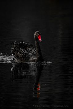 Black Swan - Side On