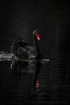 Black Swan - Side On by Old-Man-George, via Flickr