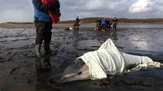 """Rescuers are struggling to save more than 100 dolphins that have beached themselves on the shores of Cape Cod, Mass., over the past two weeks in what could be the largest single-species stranding ever in the northeast.  The dolphins are washing up along the rocky shoreline in groups of as many of 10. At least 80 of them have already died.  """"As of right now we're looking at about 116 since the 12th of January. We're not really sure why the number is continuing to climb,"""" said Brian Sharp, a representative of the International Fund for Animal Welfare."""