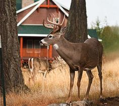 Deer Hunting: Tips for Targeting Backyard Bucks | Outdoor Life