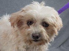 Adopt Winter, a lovely 10 years  4 months Dog available for adoption at Petango.com.  Winter is a Maltese and is available at the National Mill Dog Rescue in Colorado Springs, Co. www.milldogrescue... #adoptdontshop #puppymilldog #rescue #adoptyourfriendtoday