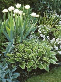 white garden in spring:  variegated hosta + stachys lanata + tulip + pansy + forget-me-not as groundcover