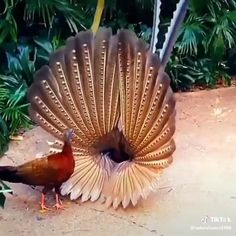 Beautiful peacock showing the open feathers. The colors are outstanding. We usually see them spread out behind them. But this is for a distinct purpose! Pretty Birds, Beautiful Birds, Animals Beautiful, Exotic Birds, Colorful Birds, Cute Funny Animals, Cute Baby Animals, Nature Animals, Animals And Pets
