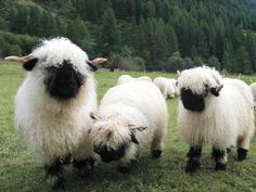 There's a breed of sheep from the Valais region of Switzerland that tops the list for the world's cutest sheep. The Valais Blacknose sheep are well known for their shaggy coats and spiral horns, but Cute Baby Animals, Farm Animals, Animals And Pets, Funny Animals, Wild Animals, Beautiful Creatures, Animals Beautiful, Beautiful Babies, Valais Blacknose Sheep