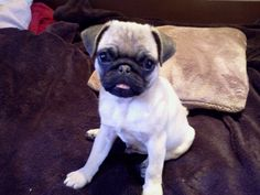 Percy the pug <3