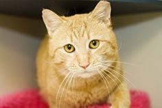 Large orange cat with yellow eyes Important medical news on animals